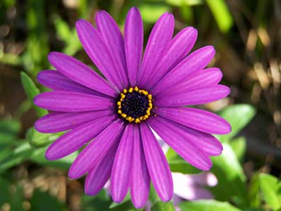 flower buying guide daisy